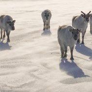 Svalbard rain deers