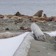 Walrus land