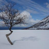 Proud mountain birch